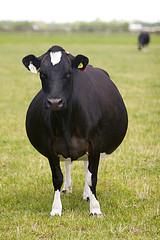 vaca de cria y engorda